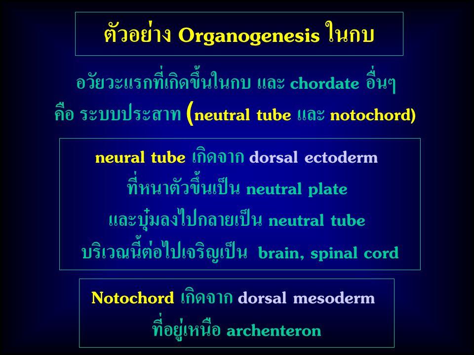 ตัวอย่าง Organogenesis ในกบ neural tube เกิดจาก dorsal ectoderm ที่หนาตัวขึ้นเป็น neutral plate และบุ๋มลงไปกลายเป็น neutral tube บริเวณนี้ต่อไปเจริญเป็น brain, spinal cord อวัยวะแรกที่เกิดขึ้นในกบ และ chordate อื่นๆ คือ ระบบประสาท (neutral tube และ notochord) Notochord เกิดจาก dorsal mesoderm ที่อยู่เหนือ archenteron