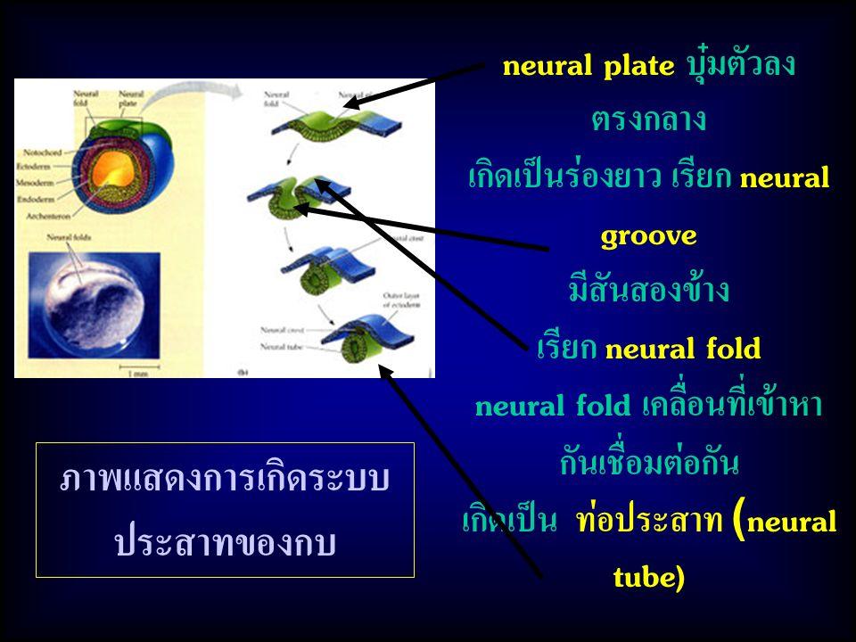 neural plate บุ๋มตัวลง ตรงกลาง เกิดเป็นร่องยาว เรียก neural groove มีสันสองข้าง เรียก neural fold neural fold เคลื่อนที่เข้าหา กันเชื่อมต่อกัน เกิดเป็น ท่อประสาท (neural tube) ภาพแสดงการเกิดระบบ ประสาทของกบ