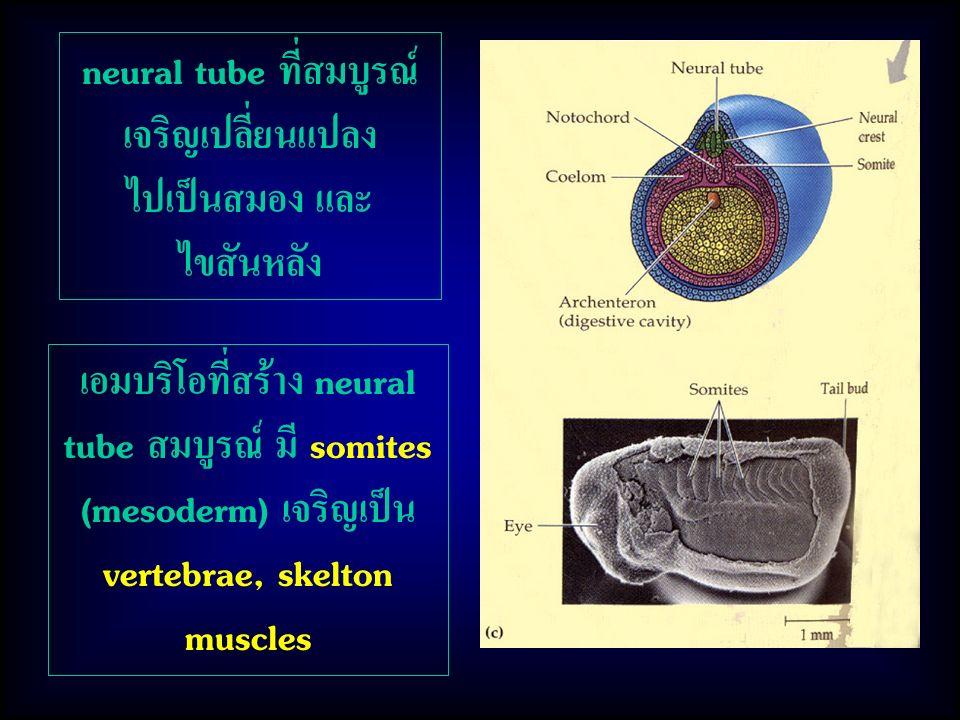 neural tube ที่สมบูรณ์ เจริญเปลี่ยนแปลง ไปเป็นสมอง และ ไขสันหลัง เอมบริโอที่สร้าง neural tube สมบูรณ์ มี somites (mesoderm) เจริญเป็น vertebrae, skelt