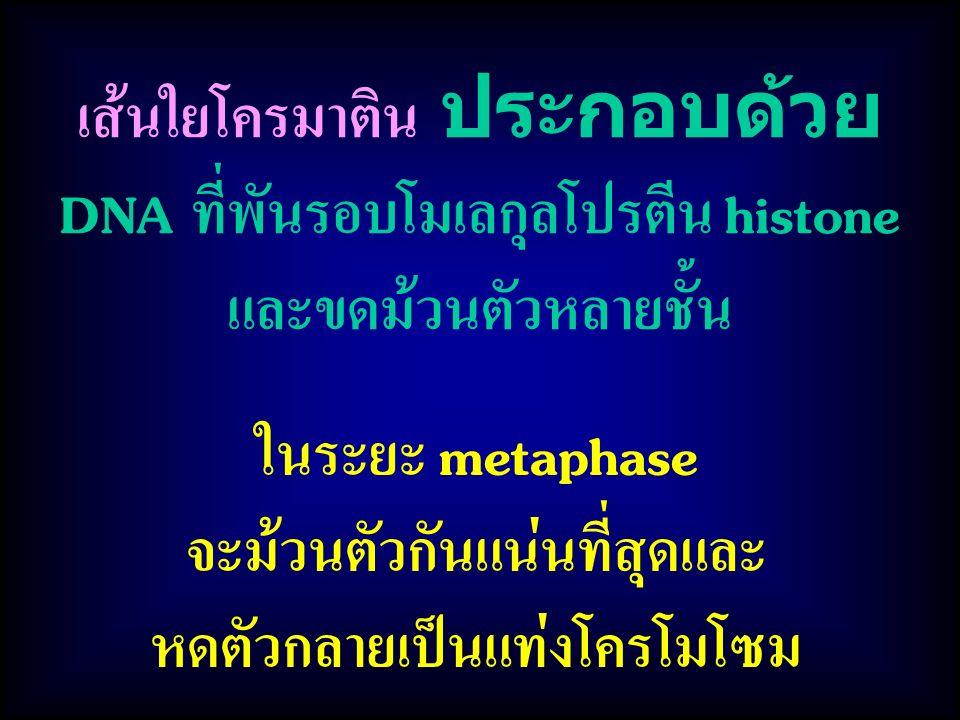 ในระยะ metaphase จะม้วนตัวกันแน่นที่สุดและ หดตัวกลายเป็นแท่งโครโมโซม เส้นใยโครมาติน ประกอบด้วย DNA ที่พันรอบโมเลกุลโปรตีน histone และขดม้วนตัวหลายชั้น