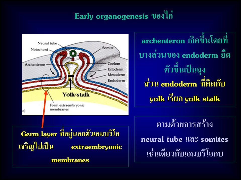 Early organogenesis ของไก่ archenteron เกิดขึ้นโดยที่ บางส่วนของ endoderm ยืด ตัวขึ้นเป็นถุง ส่วน endoderm ที่ติดกับ yolk เรียก yolk stalk Germ layer ที่อยู่นอกตัวเอมบริโอ เจริญไปเป็น extraembryonic membranes ตามด้วยการสร้าง neural tube และ somites เช่นเดียวกับเอมบริโอกบ