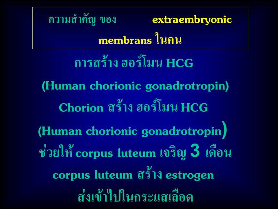 การสร้าง ฮอร์โมน HCG (Human chorionic gonadrotropin) Chorion สร้าง ฮอร์โมน HCG (Human chorionic gonadrotropin) ช่วยให้ corpus luteum เจริญ 3 เดือน corpus luteum สร้าง estrogen ส่งเข้าไปในกระแสเลือด ความสำคัญ ของ extraembryonic membrans ในคน