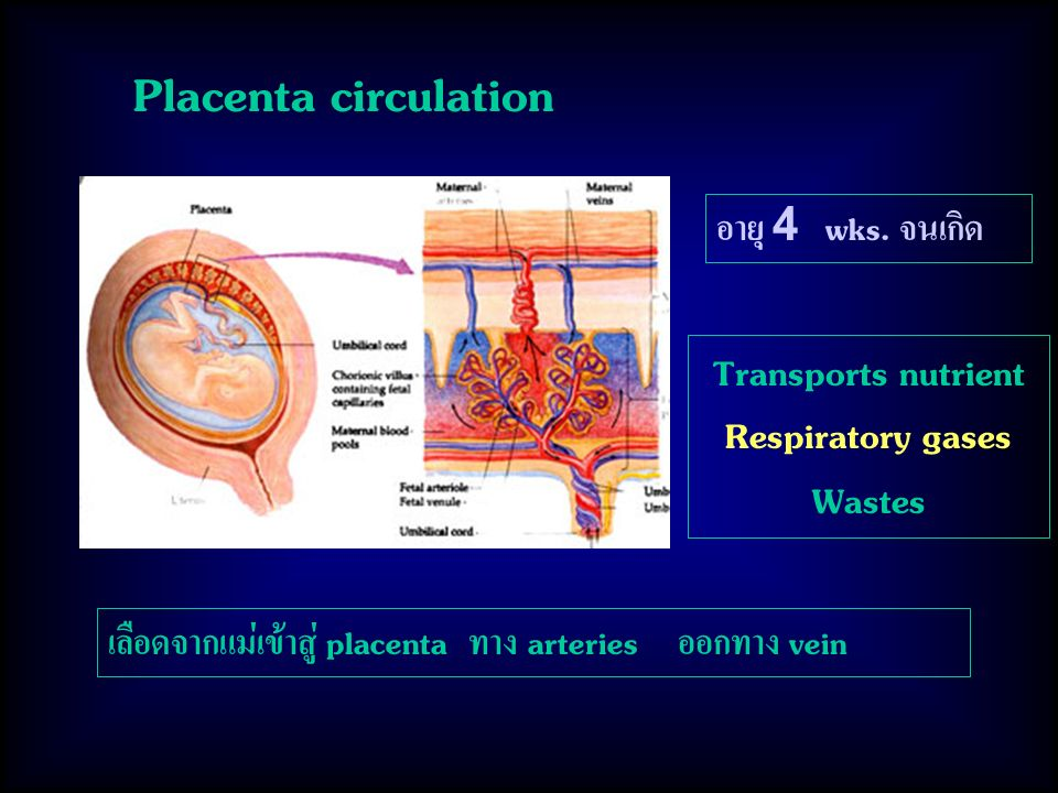 Placenta circulation อายุ 4 wks. จนเกิด Transports nutrient Respiratory gases Wastes เลือดจากแม่เข้าสู่ placenta ทาง arteries ออกทาง vein