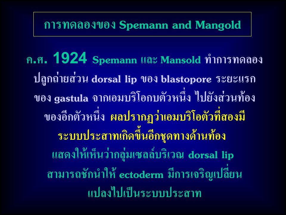 การทดลองของ Spemann and Mangold ค.ศ. 1924 Spemann และ Mansold ทำการทดลอง ปลูกถ่ายส่วน dorsal lip ของ blastopore ระยะแรก ของ gastula จากเอมบริโอกบตัวหน