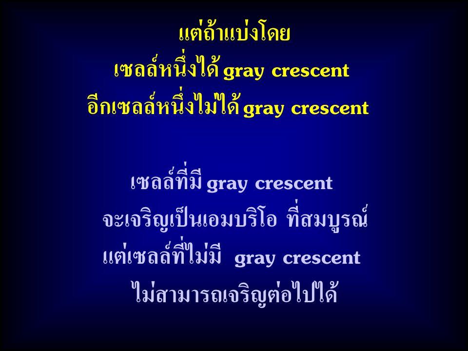 แต่ถ้าแบ่งโดย เซลล์หนึ่งได้ gray crescent อีกเซลล์หนึ่งไม่ได้ gray crescent เซลล์ที่มี gray crescent จะเจริญเป็นเอมบริโอ ที่สมบูรณ์ แต่เซลล์ที่ไม่มี g