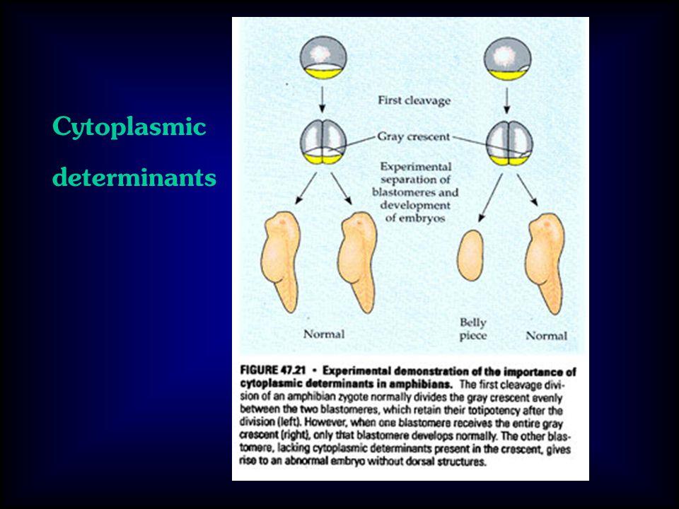 Cytoplasmic determinants