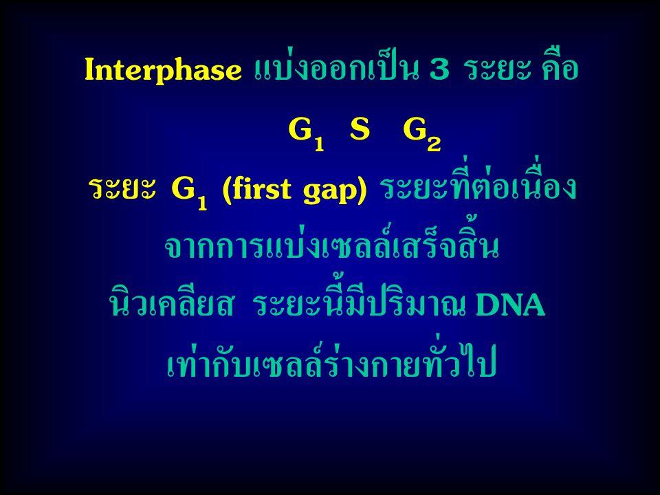 Interphase แบ่งออกเป็น 3 ระยะ คือ G 1 S G 2 ระยะ G 1 (first gap) ระยะที่ต่อเนื่อง จากการแบ่งเซลล์เสร็จสิ้น นิวเคลียส ระยะนี้มีปริมาณ DNA เท่ากับเซลล์ร่างกายทั่วไป