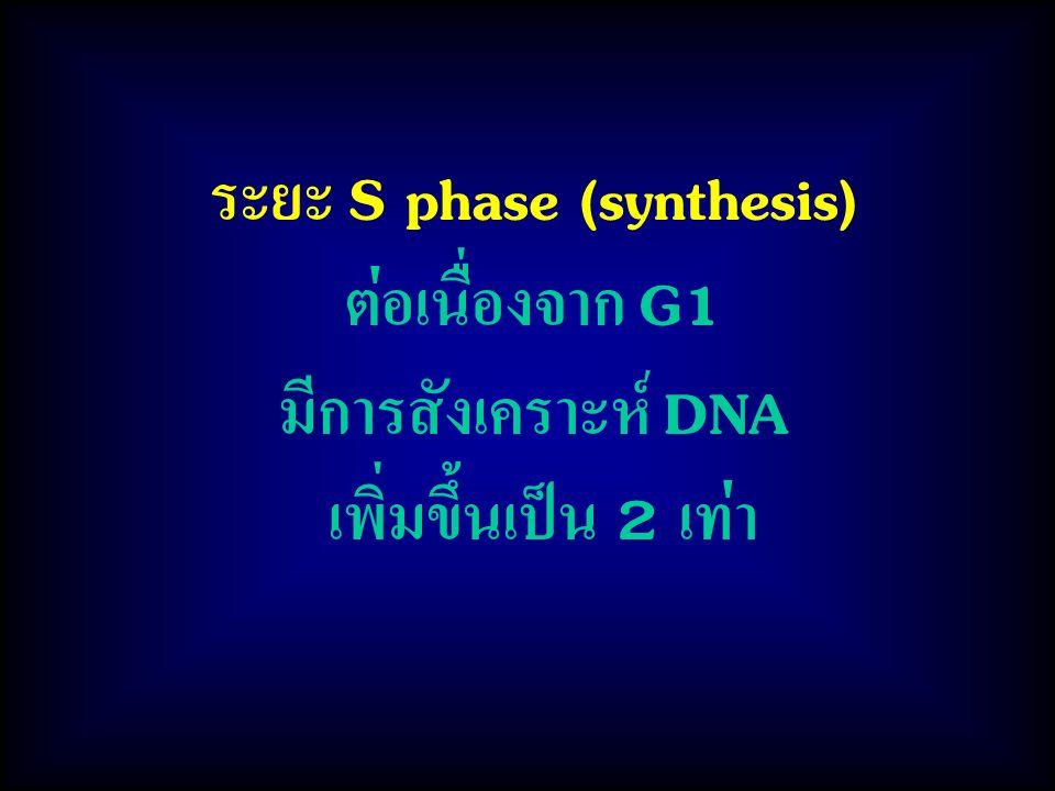 ระยะ S phase (synthesis) ต่อเนื่องจาก G1 มีการสังเคราะห์ DNA เพิ่มขึ้นเป็น 2 เท่า