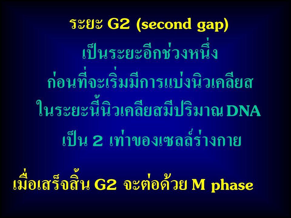 ระยะ G2 (second gap) เป็นระยะอีกช่วงหนึ่ง ก่อนที่จะเริ่มมีการแบ่งนิวเคลียส ในระยะนี้นิวเคลียสมีปริมาณ DNA เป็น 2 เท่าของเซลล์ร่างกาย เมื่อเสร็จสิ้น G2 จะต่อด้วย M phase