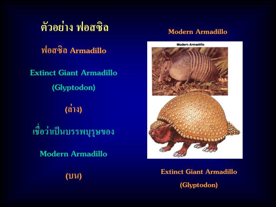 ตัวอย่าง ฟอสซิล ฟอสซิล Armadillo Extinct Giant Armadillo (Glyptodon) (ล่าง) เชื่อว่าเป็นบรรพบุรุษของ Modern Armadillo (บน) Modern Armadillo Extinct Giant Armadillo (Glyptodon)