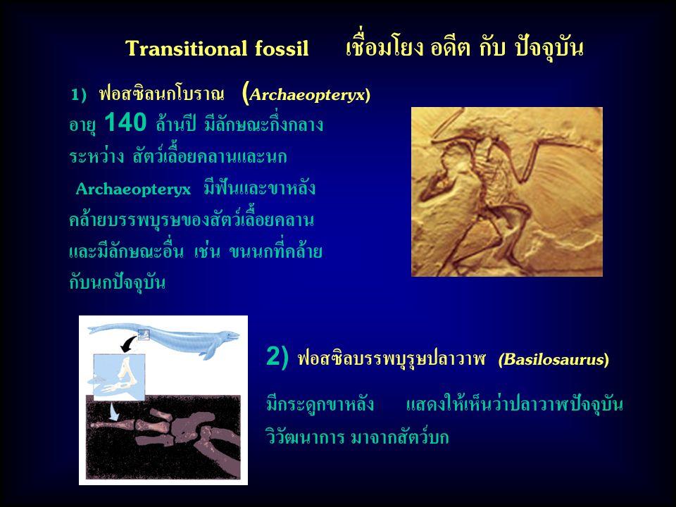 Transitional fossil เชื่อมโยง อดีต กับ ปัจจุบัน 1) ฟอสซิลนกโบราณ (Archaeopteryx) อายุ 140 ล้านปี มีลักษณะกึ่งกลาง ระหว่าง สัตว์เลื้อยคลานและนก Archaeopteryx มีฟันและขาหลัง คล้ายบรรพบุรษของสัตว์เลื้อยคลาน และมีลักษณะอื่น เช่น ขนนกที่คล้าย กับนกปัจจุบัน 2) ฟอสซิลบรรพบุรุษปลาวาฬ (Basilosaurus) มีกระดูกขาหลัง แสดงให้เห็นว่าปลาวาฬปัจจุบัน วิวัฒนาการ มาจากสัตว์บก