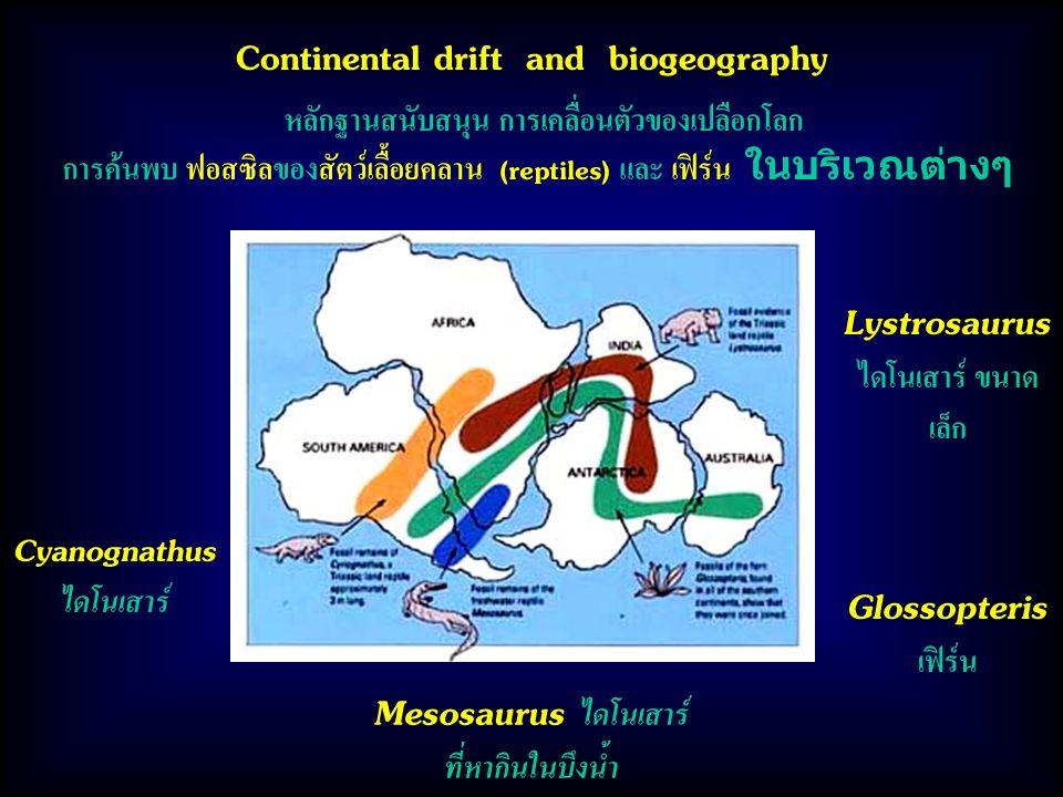 หลักฐานสนับสนุน การเคลื่อนตัวของเปลือกโลก การค้นพบ ฟอสซิลของสัตว์เลื้อยคลาน (reptiles) และ เฟิร์น ในบริเวณต่างๆ Continental drift and biogeography Lystrosaurus ไดโนเสาร์ ขนาด เล็ก Glossopteris เฟิร์น Mesosaurus ไดโนเสาร์ ที่หากินในบึงน้ำ Cyanognathus ไดโนเสาร์