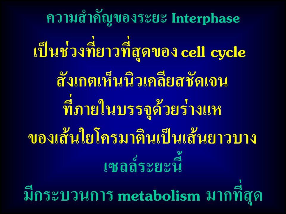 ความสำคัญของระยะ Interphase เซลล์ระยะนี้ มีกระบวนการ metabolism มากที่สุด เป็นช่วงที่ยาวที่สุดของ cell cycle สังเกตเห็นนิวเคลียสชัดเจน ที่ภายในบรรจุด้