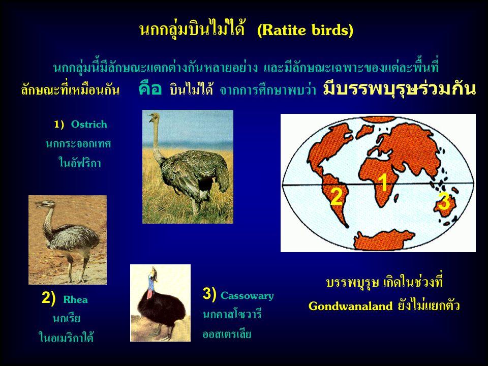 นกกลุ่มบินไม่ได้ (Ratite birds) นกกลุ่มนี้มีลักษณะแตกต่างกันหลายอย่าง และมีลักษณะเฉพาะของแต่ละพื้นที่ ลักษณะที่เหมือนกัน คือ บินไม่ได้ จากการศึกษาพบว่า มีบรรพบุรุษร่วมกัน 3) Cassowary นกคาสโซวารี ออสเตรเลีย 1) Ostrich นกกระจอกเทศ ในอัฟริกา 2) Rhea นกเรีย ในอเมริกาใต้ 1 2 3 บรรพบุรุษ เกิดในช่วงที่ Gondwanaland ยังไม่แยกตัว