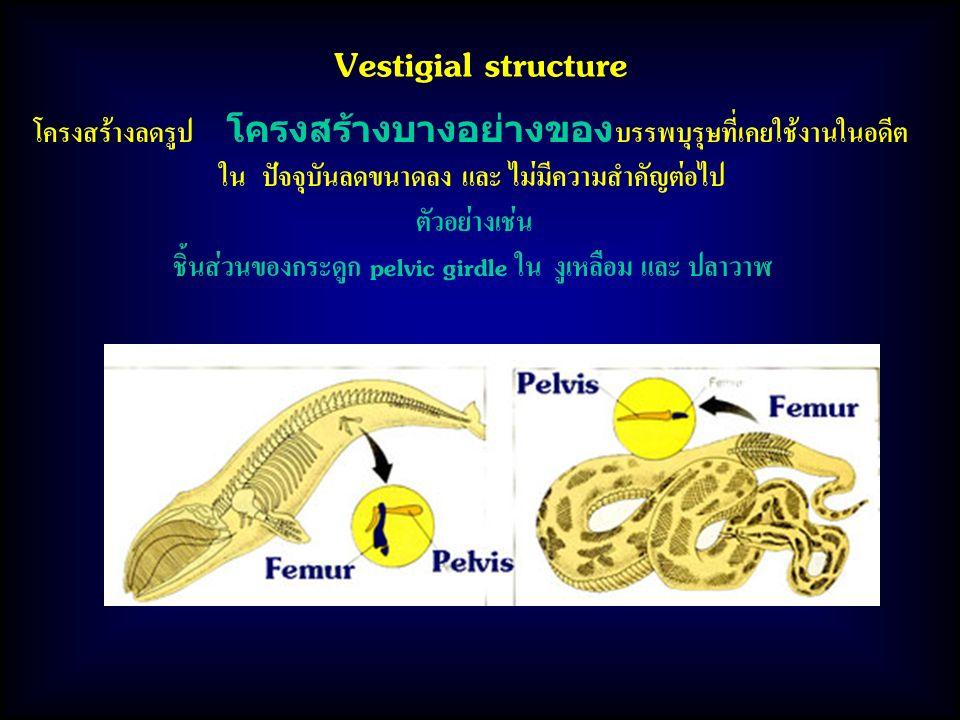 Vestigial structure โครงสร้างลดรูป โครงสร้างบางอย่างของบรรพบุรุษที่เคยใช้งานในอดีต ใน ปัจจุบันลดขนาดลง และ ไม่มีความสำคัญต่อไป ตัวอย่างเช่น ชิ้นส่วนของกระดูก pelvic girdle ใน งูเหลือม และ ปลาวาฬ