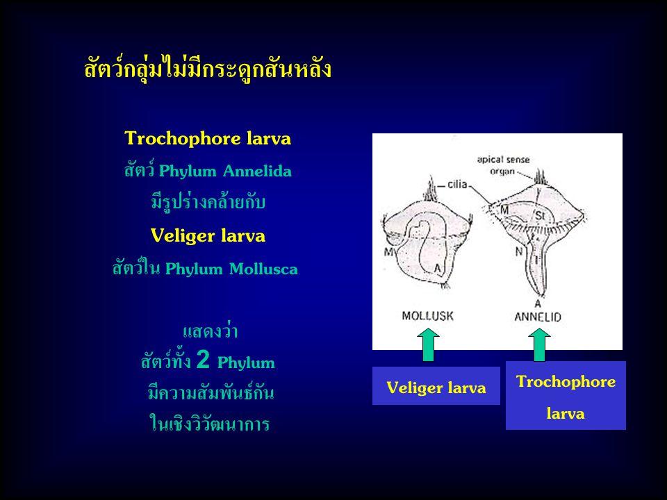 สัตว์กลุ่มไม่มีกระดูกสันหลัง Trochophore larva สัตว์ Phylum Annelida มีรูปร่างคล้ายกับ Veliger larva สัตว์ใน Phylum Mollusca แสดงว่า สัตว์ทั้ง 2 Phylum มีความสัมพันธ์กัน ในเชิงวิวัฒนาการ Veliger larva Trochophore larva