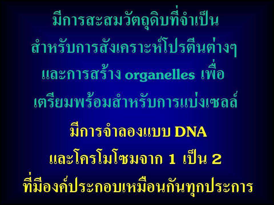 มีการจำลองแบบ DNA และโครโมโซมจาก 1 เป็น 2 ที่มีองค์ประกอบเหมือนกันทุกประการ มีการสะสมวัตถุดิบที่จำเป็น สำหรับการสังเคราะห์โปรตีนต่างๆ และการสร้าง organelles เพื่อ เตรียมพร้อมสำหรับการแบ่งเซลล์