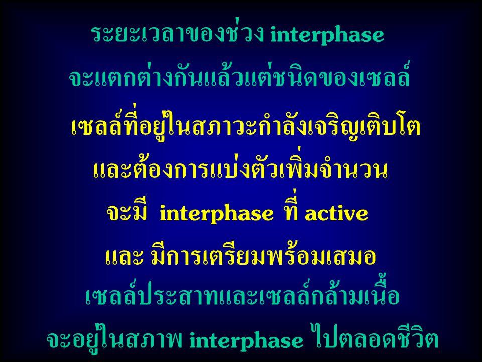 ระยะเวลาของช่วง interphase จะแตกต่างกันแล้วแต่ชนิดของเซลล์ เซลล์ที่อยู่ในสภาวะกำลังเจริญเติบโต และต้องการแบ่งตัวเพิ่มจำนวน จะมี interphase ที่ active และ มีการเตรียมพร้อมเสมอ เซลล์ประสาทและเซลล์กล้ามเนื้อ จะอยู่ในสภาพ interphase ไปตลอดชีวิต