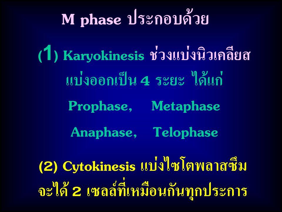 M phase ประกอบด้วย (2) Cytokinesis แบ่งไซโตพลาสซึม จะได้ 2 เซลล์ที่เหมือนกันทุกประการ (1) Karyokinesis ช่วงแบ่งนิวเคลียส แบ่งออกเป็น 4 ระยะ ได้แก่ Prophase, Metaphase Anaphase, Telophase