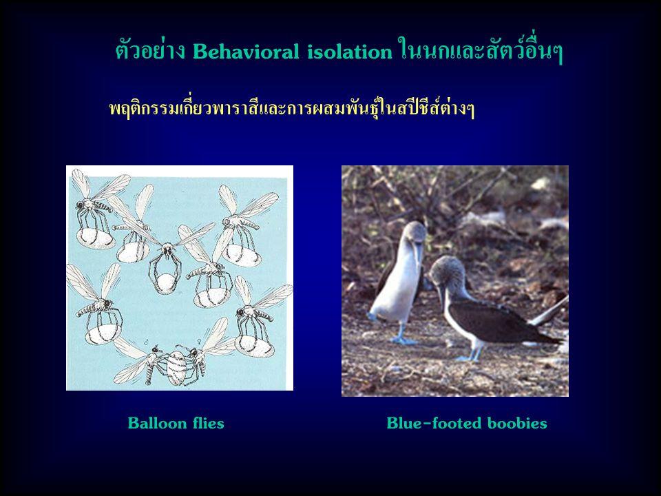 พฤติกรรมเกี่ยวพาราสีและการผสมพันธุ์ในสปีชีส์ต่างๆ ตัวอย่าง Behavioral isolation ในนกและสัตว์อื่นๆ Balloon flies Blue-footed boobies