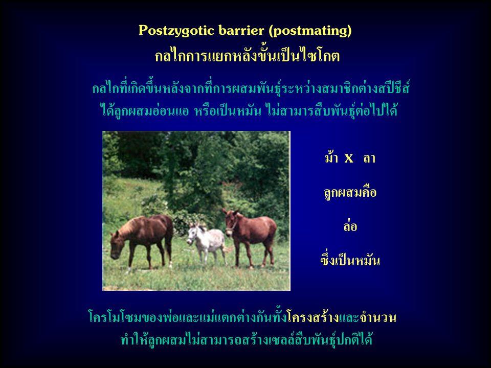 Postzygotic barrier (postmating) กลไกการแยกหลังขั้นเป็นไซโกต กลไกที่เกิดขึ้นหลังจากที่การผสมพันธุ์ระหว่างสมาชิกต่างสปีชีส์ ได้ลูกผสมอ่อนแอ หรือเป็นหมัน ไม่สามารสืบพันธุ์ต่อไปได้ ม้า X ลา ลูกผสมคือ ล่อ ซึ่งเป็นหมัน โครโมโซมของพ่อและแม่แตกต่างกันทั้งโครงสร้างและจำนวน ทำให้ลูกผสมไม่สามารถสร้างเซลล์สืบพันธุ์ปกติได้