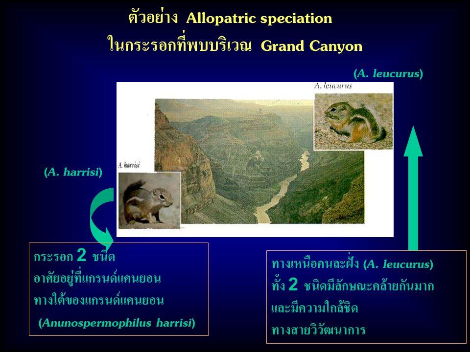 ตัวอย่าง Allopatric speciation ในกระรอกที่พบบริเวณ Grand Canyon ทางเหนือคนละฝั่ง (A. leucurus) ทั้ง 2 ชนิดมีลักษณะคล้ายกันมาก และมีความใกล้ชิด ทางสายว