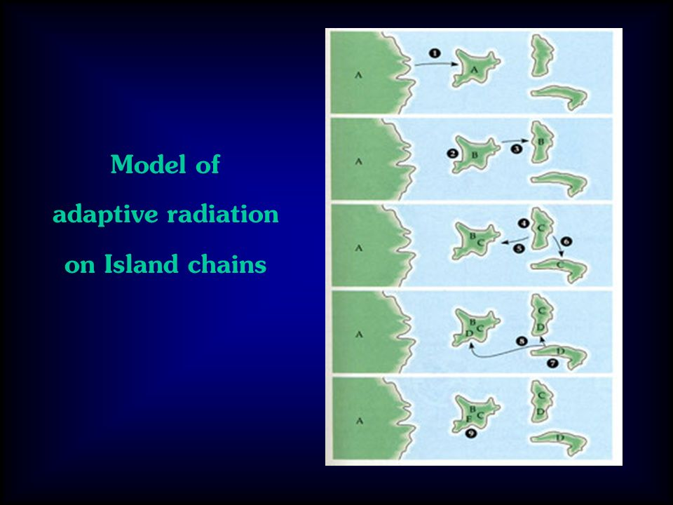 Model of adaptive radiation on Island chains