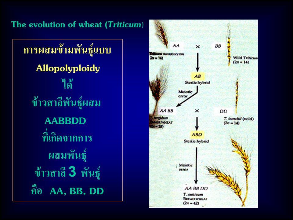 The evolution of wheat (Triticum ) การผสมข้ามพันธุ์แบบ Allopolyploidy ได้ ข้าวสาลีพันธุ์ผสม AABBDD ที่เกิดจากการ ผสมพันธุ์ ข้าวสาลี 3 พันธุ์ คือ AA, BB, DD