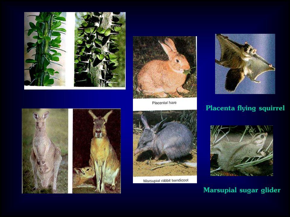 Placenta flying squirrel Marsupial sugar glider