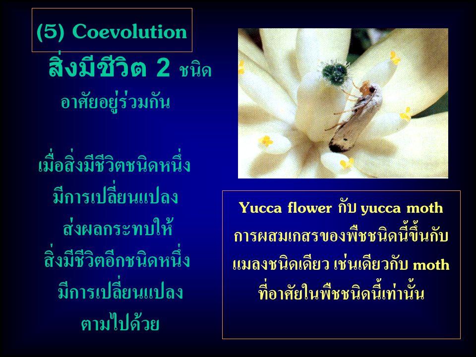 (5) Coevolution สิ่งมีชีวิต 2 ชนิด อาศัยอยู่ร่วมกัน เมื่อสิ่งมีชีวิตชนิดหนึ่ง มีการเปลี่ยนแปลง ส่งผลกระทบให้ สิ่งมีชีวิตอีกชนิดหนึ่ง มีการเปลี่ยนแปลง ตามไปด้วย Yucca flower กับ yucca moth การผสมเกสรของพืชชนิดนี้ขึ้นกับ แมลงชนิดเดียว เช่นเดียวกับ moth ที่อาศัยในพืชชนิดนี้เท่านั้น