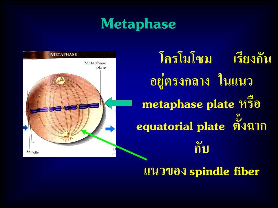 Metaphase โครโมโซม เรียงกัน อยู่ตรงกลาง ในแนว metaphase plate หรือ equatorial plate ตั้งฉาก กับ แนวของ spindle fiber