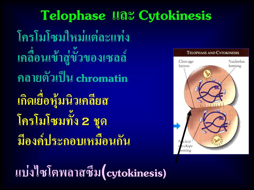 Telophase และ Cytokinesis เกิดเยื่อหุ้มนิวเคลียส โครโมโซมทั้ง 2 ชุด มีองค์ประกอบเหมือนกัน โครโมโซมใหม่แต่ละแท่ง เคลื่อนเข้าสู่ขั้วของเซลล์ คลายตัวเป็น