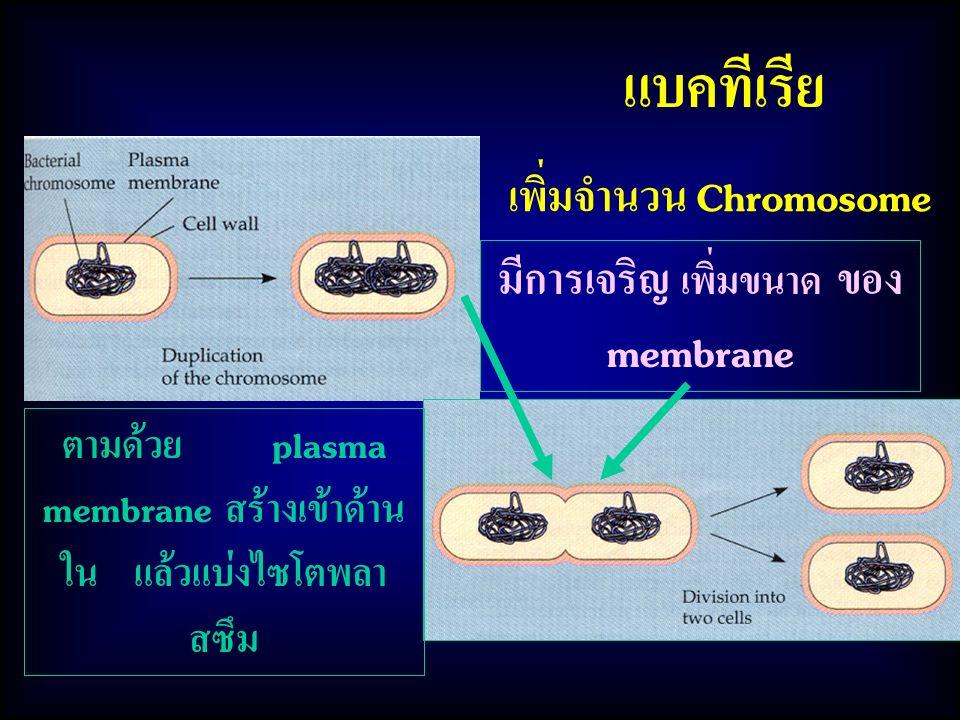 แบคทีเรีย มีการเจริญ เพิ่มขนาด ของ membrane ตามด้วย plasma membrane สร้างเข้าด้าน ใน แล้วแบ่งไซโตพลา สซึม เพิ่มจำนวน Chromosome