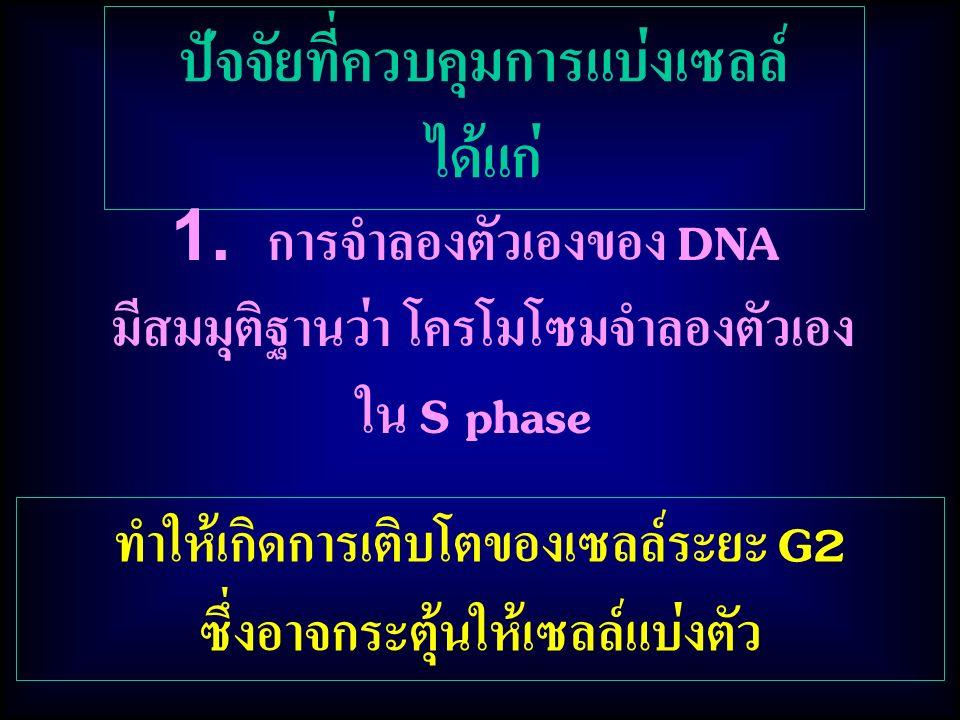 ปัจจัยที่ควบคุมการแบ่งเซลล์ ได้แก่ ทำให้เกิดการเติบโตของเซลล์ระยะ G2 ซึ่งอาจกระตุ้นให้เซลล์แบ่งตัว 1. การจำลองตัวเองของ DNA มีสมมุติฐานว่า โครโมโซมจำล