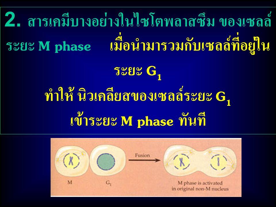2. สารเคมีบางอย่างในไซโตพลาสซึม ของเซลล์ ระยะ M phase เมื่อนำมารวมกับเซลล์ที่อยู่ใน ระยะ G 1 ทำให้ นิวเคลียสของเซลล์ระยะ G 1 เข้าระยะ M phase ทันที