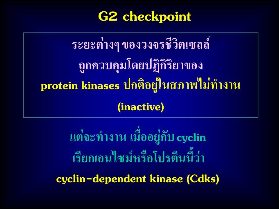 G2 checkpoint แต่จะทำงาน เมื่ออยู่กับ cyclin เรียกเอนไซม์หรือโปรตีนนี้ว่า cyclin-dependent kinase (Cdks) ระยะต่างๆ ของวงจรชีวิตเซลล์ ถูกควบคุมโดยปฏิกิริยาของ protein kinases ปกติอยู่ในสภาพไม่ทำงาน (inactive)