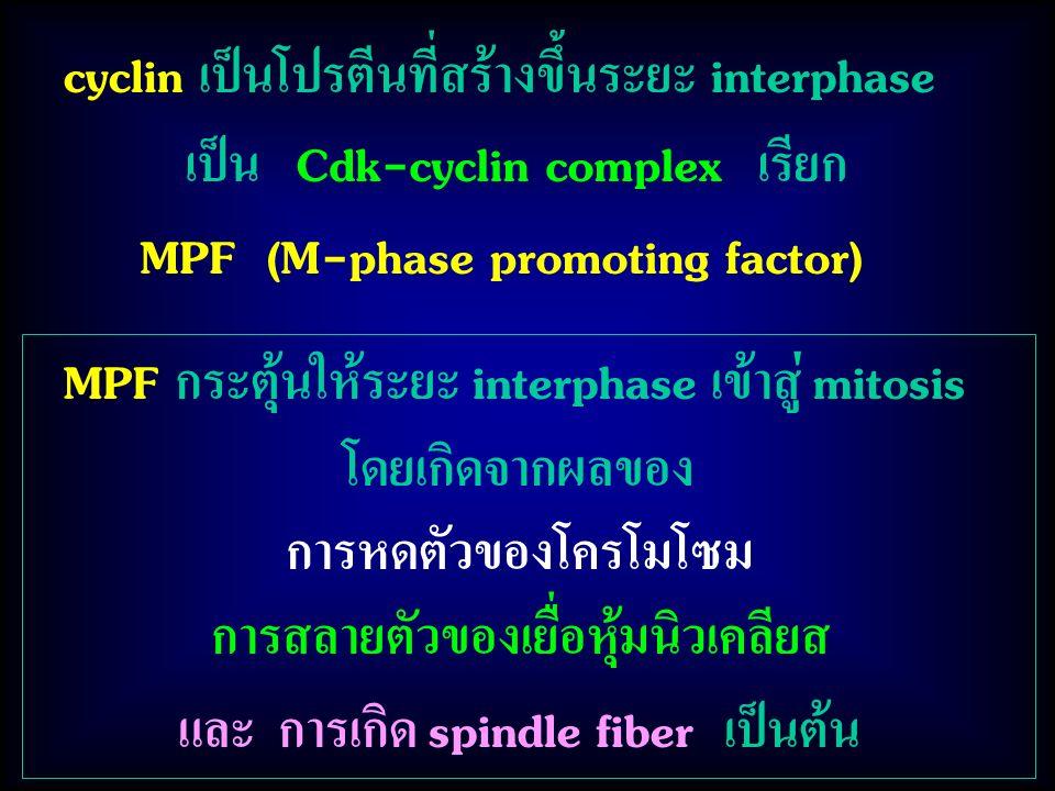 MPF กระตุ้นให้ระยะ interphase เข้าสู่ mitosis โดยเกิดจากผลของ การหดตัวของโครโมโซม การสลายตัวของเยื่อหุ้มนิวเคลียส และ การเกิด spindle fiber เป็นต้น cyclin เป็นโปรตีนที่สร้างขึ้นระยะ interphase เป็น Cdk-cyclin complex เรียก MPF (M-phase promoting factor)