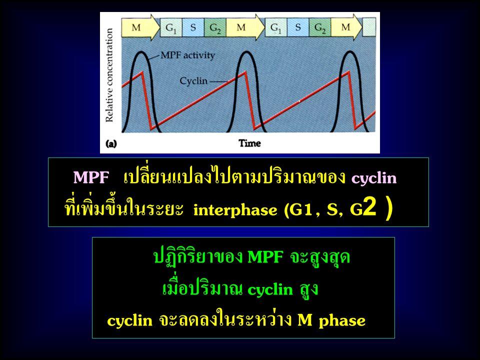 ปฏิกิริยาของ MPF จะสูงสุด เมื่อปริมาณ cyclin สูง cyclin จะลดลงในระหว่าง M phase MPF เปลี่ยนแปลงไปตามปริมาณของ cyclin ที่เพิ่มขึ้นในระยะ interphase (G1, S, G2 )