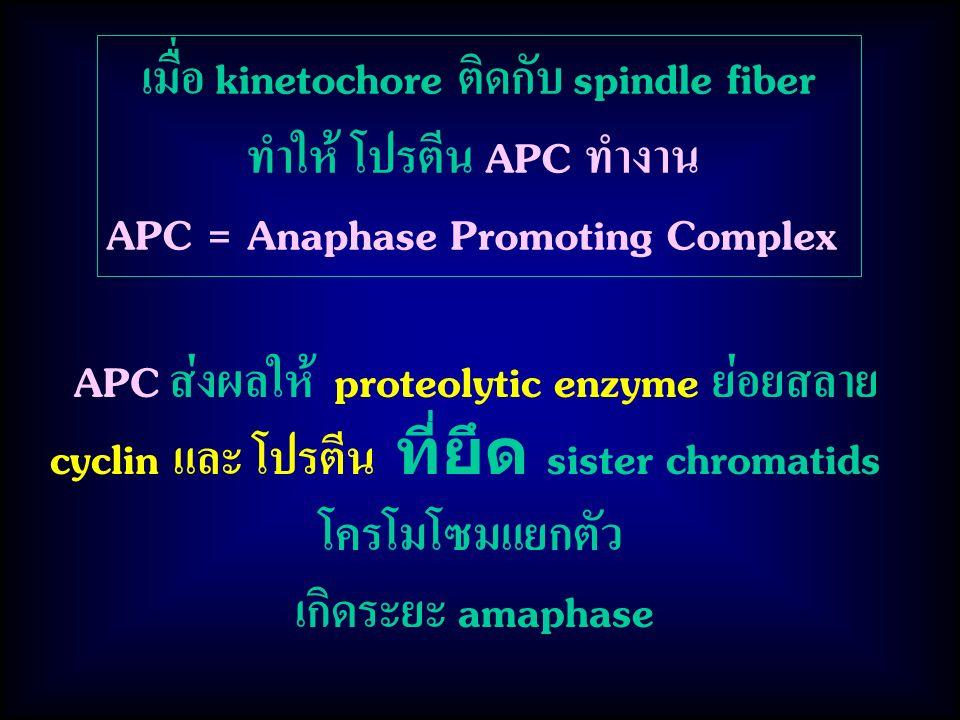 APC ส่งผลให้ proteolytic enzyme ย่อยสลาย cyclin และ โปรตีน ที่ยึด sister chromatids โครโมโซมแยกตัว เกิดระยะ amaphase เมื่อ kinetochore ติดกับ spindle fiber ทำให้ โปรตีน APC ทำงาน APC = Anaphase Promoting Complex