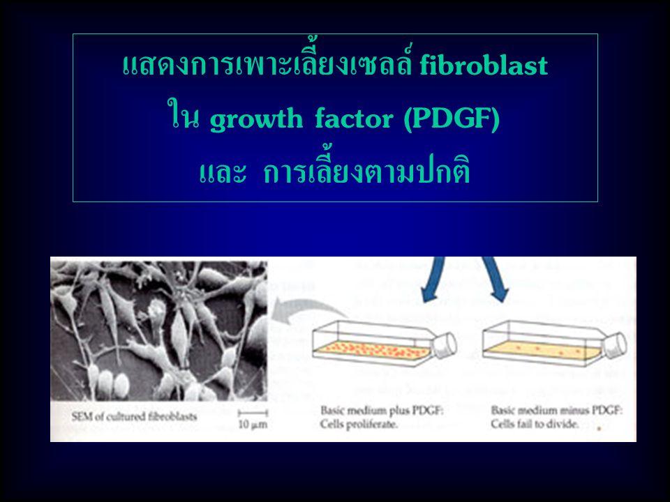 แสดงการเพาะเลี้ยงเซลล์ fibroblast ใน growth factor (PDGF) และ การเลี้ยงตามปกติ
