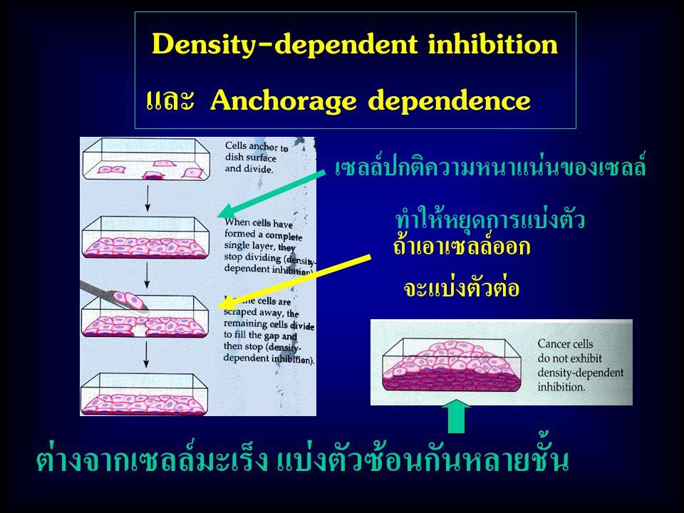 ต่างจากเซลล์มะเร็ง แบ่งตัวซ้อนกันหลายชั้น Density-dependent inhibition และ Anchorage dependence เซลล์ปกติความหนาแน่นของเซลล์ ทำให้หยุดการแบ่งตัว ถ้าเอ