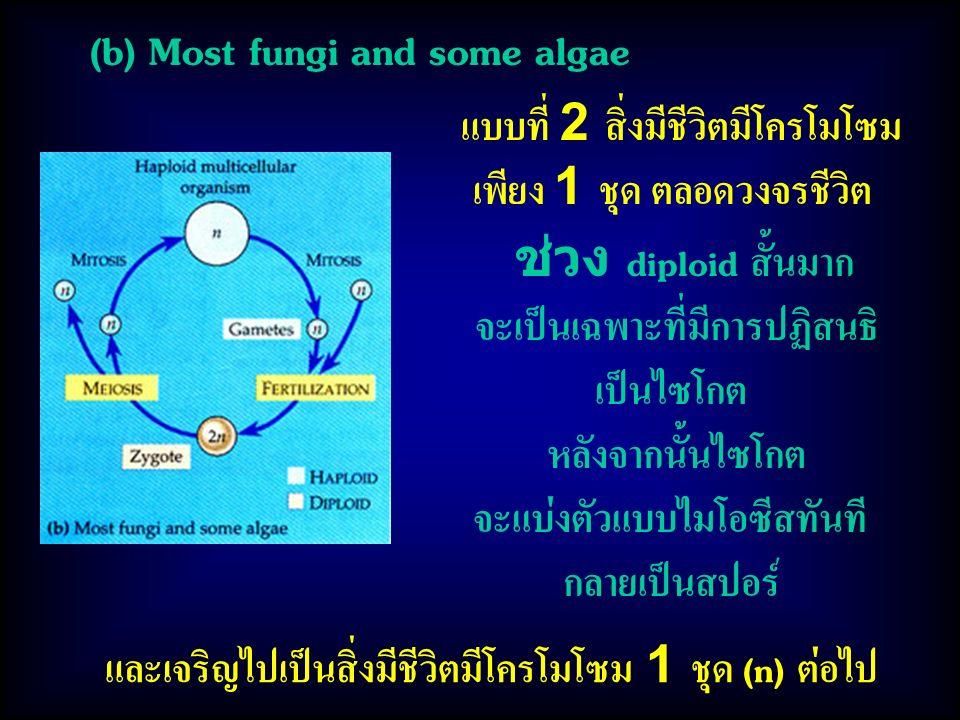 และเจริญไปเป็นสิ่งมีชีวิตมีโครโมโซม 1 ชุด (n) ต่อไป (b) Most fungi and some algae แบบที่ 2 สิ่งมีชีวิตมีโครโมโซม เพียง 1 ชุด ตลอดวงจรชีวิต ช่วง diploid สั้นมาก จะเป็นเฉพาะที่มีการปฏิสนธิ เป็นไซโกต หลังจากนั้นไซโกต จะแบ่งตัวแบบไมโอซีสทันที กลายเป็นสปอร์