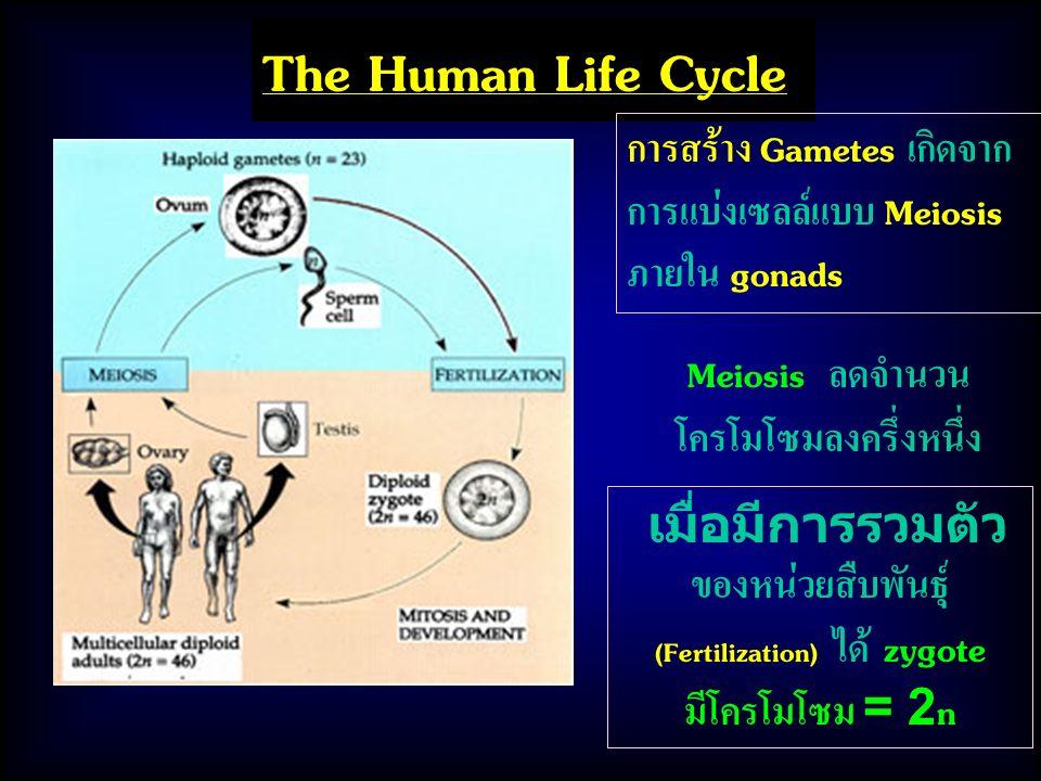 The Human Life Cycle เมื่อมีการรวมตัว ของหน่วยสืบพันธุ์ (Fertilization) ได้ zygote มีโครโมโซม = 2n การสร้าง Gametes เกิดจาก การแบ่งเซลล์แบบ Meiosis ภายใน gonads Meiosis ลดจำนวน โครโมโซมลงครึ่งหนึ่ง