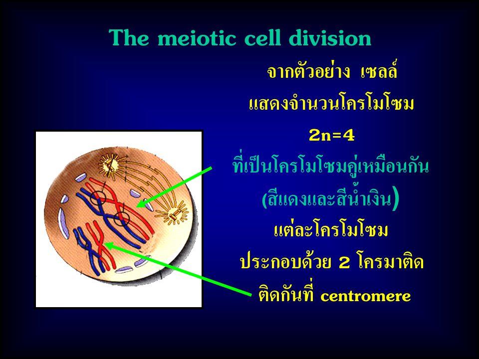 The meiotic cell division จากตัวอย่าง เซลล์ แสดงจำนวนโครโมโซม 2n=4 ที่เป็นโครโมโซมคู่เหมือนกัน (สีแดงและสีน้ำเงิน) แต่ละโครโมโซม ประกอบด้วย 2 โครมาติด ติดกันที่ centromere