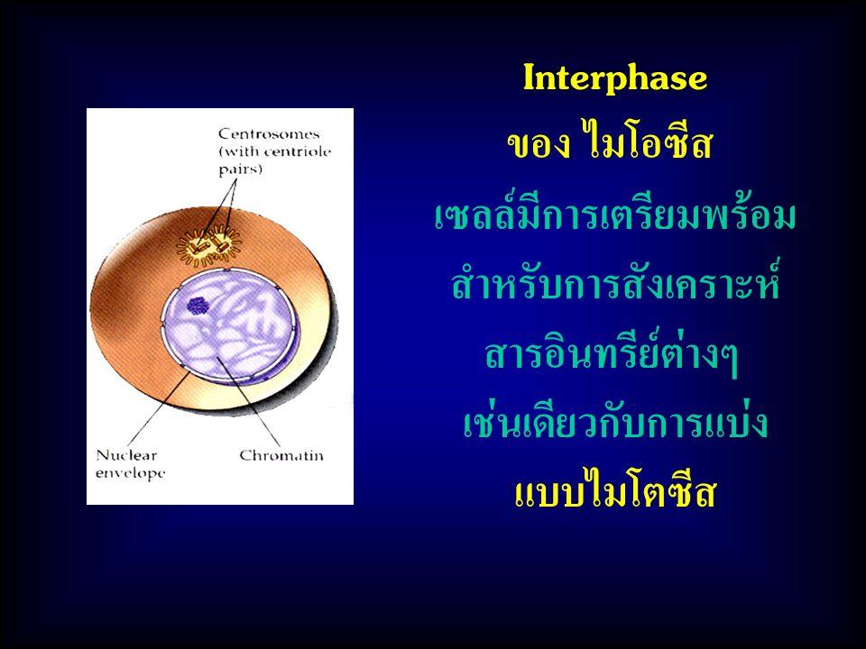 Interphase ของ ไมโอซีส เซลล์มีการเตรียมพร้อม สำหรับการสังเคราะห์ สารอินทรีย์ต่างๆ เช่นเดียวกับการแบ่ง แบบไมโตซีส