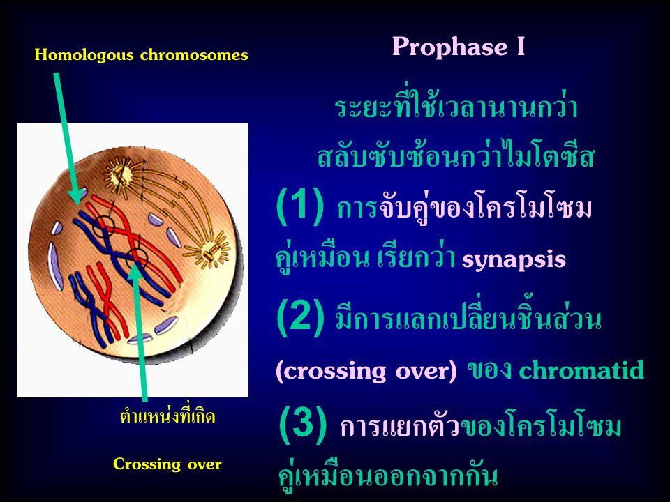 (3) การแยกตัวของโครโมโซม คู่เหมือนออกจากกัน Prophase I Homologous chromosomes ตำแหน่งที่เกิด Crossing over ระยะที่ใช้เวลานานกว่า สลับซับซ้อนกว่าไมโตซีส (1) การจับคู่ของโครโมโซม คู่เหมือน เรียกว่า synapsis (2) มีการแลกเปลี่ยนชิ้นส่วน (crossing over) ของ chromatid