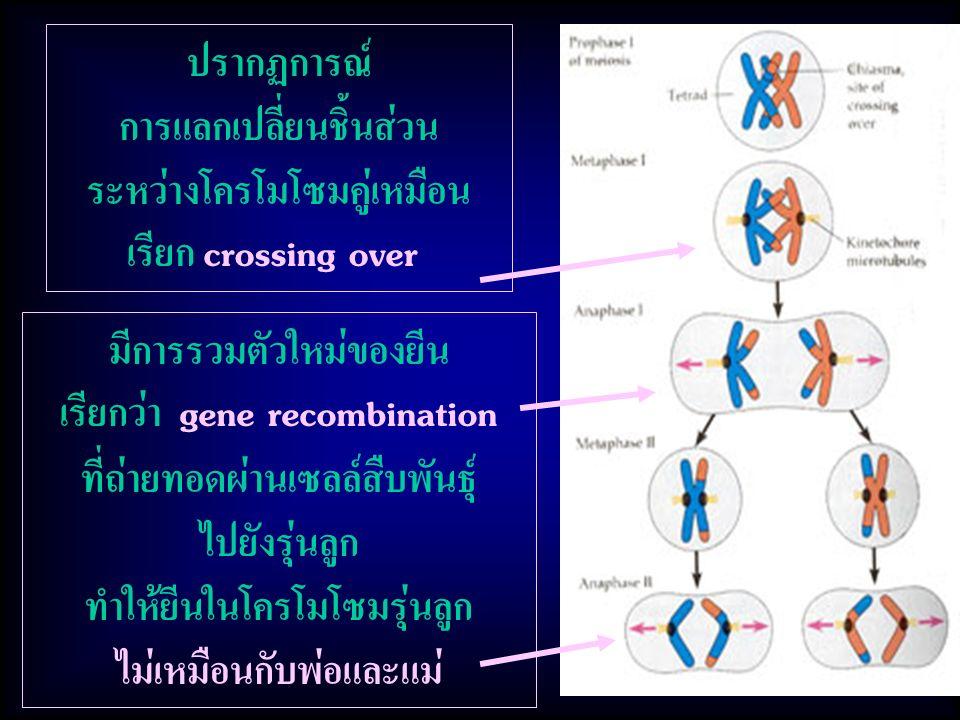 มีการรวมตัวใหม่ของยีน เรียกว่า gene recombination ที่ถ่ายทอดผ่านเซลล์สืบพันธุ์ ไปยังรุ่นลูก ทำให้ยีนในโครโมโซมรุ่นลูก ไม่เหมือนกับพ่อและแม่ ปรากฏการณ์ การแลกเปลี่ยนชิ้นส่วน ระหว่างโครโมโซมคู่เหมือน เรียก crossing over