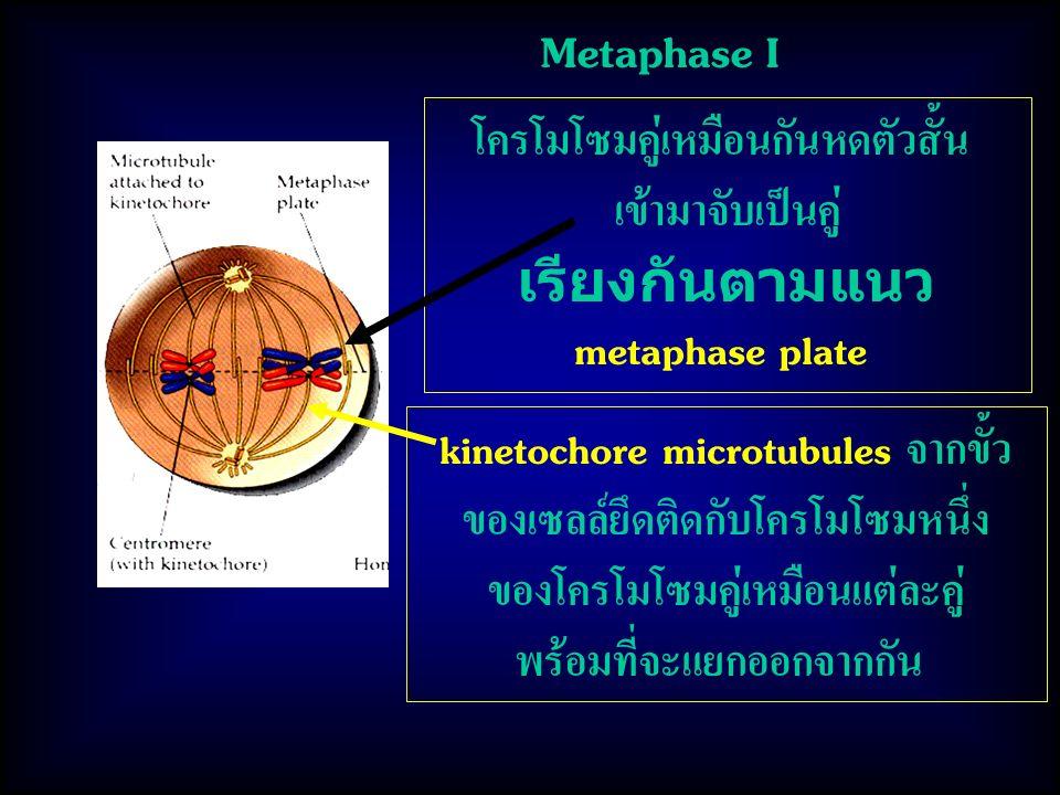 Metaphase I kinetochore microtubules จากขั้ว ของเซลล์ยึดติดกับโครโมโซมหนึ่ง ของโครโมโซมคู่เหมือนแต่ละคู่ พร้อมที่จะแยกออกจากกัน โครโมโซมคู่เหมือนกันหดตัวสั้น เข้ามาจับเป็นคู่ เรียงกันตามแนว metaphase plate