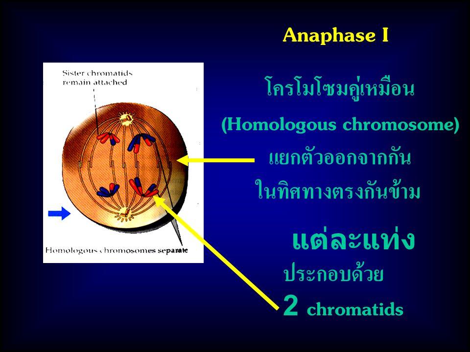 Anaphase I โครโมโซมคู่เหมือน (Homologous chromosome) แยกตัวออกจากกัน ในทิศทางตรงกันข้าม แต่ละแท่ง ประกอบด้วย 2 chromatids