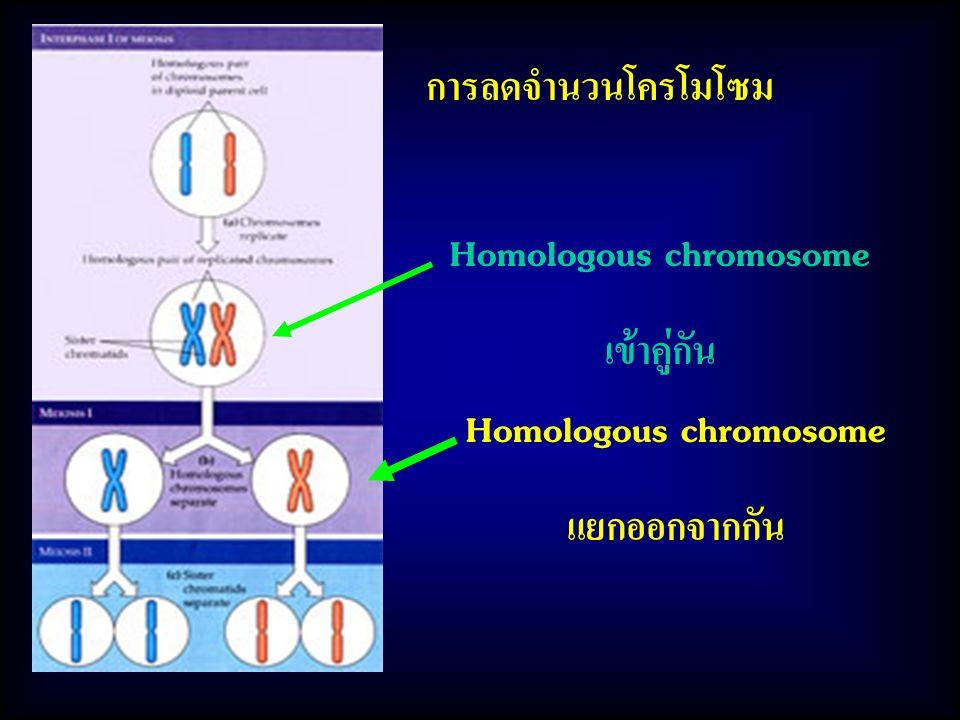 Homologous chromosome เข้าคู่กัน Homologous chromosome แยกออกจากกัน การลดจำนวนโครโมโซม